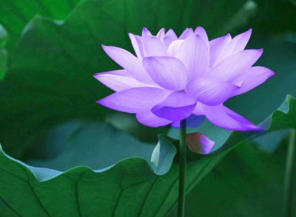 purple lotus Rhonda Nease HeartMath Mentoring